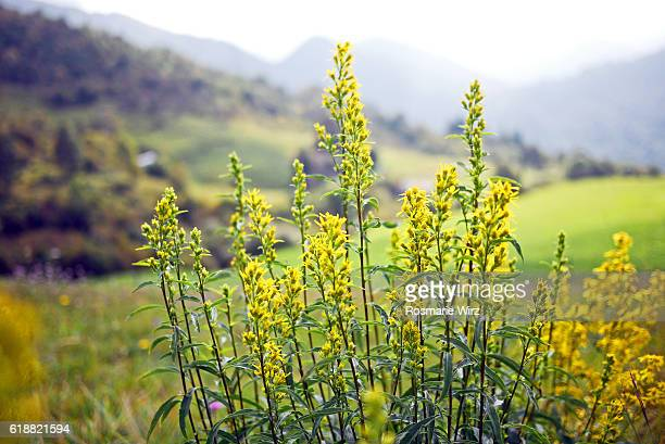 solidago virgaurea  - european goldenrod or woundwort. - goldenrod stock pictures, royalty-free photos & images