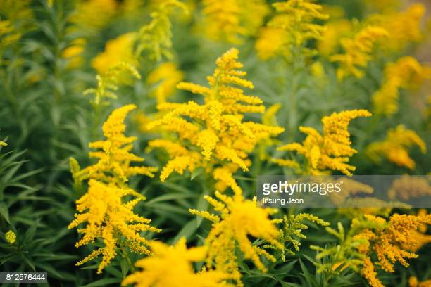 solidago virgaurea - goldenrod stock pictures, royalty-free photos & images