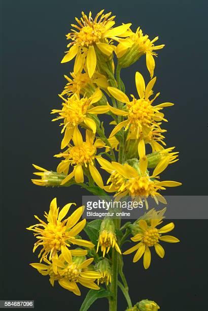 Solidago virgaurea Solidago European goldenrod golden rod woundwort Medicinal plant