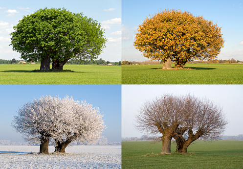 Solitaire tree in four different seasons 157405231