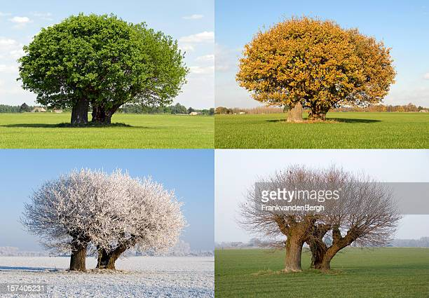 solitaire tree in four different seasons - season stock pictures, royalty-free photos & images