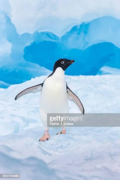 solitary adelie penguin - antarctic sound stockfoto's en -beelden