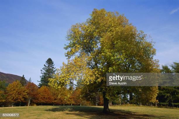 Solitary Ash Tree