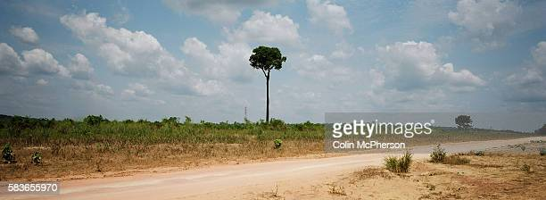 A solitary Brazil nut tree standing by the highway in a cleared patch of rainforest Highway BR163 ran from Santarem on the banks of the Tapajos river...