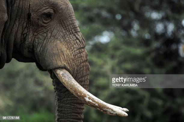 A solitary bull elephant is seen at the Amboseli National Park June 22 2018 Amboseli is among the most renowned case studies in the world for...