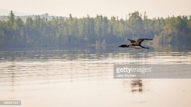 a solitary common loon (gavia immer) flying over spencer pond, in northern maine. - common loon stock pictures, royalty-free photos & images