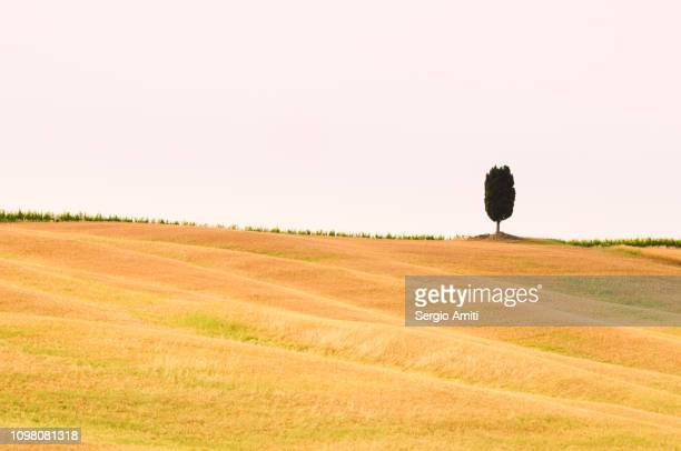 Solitary cypress tree on a Tuscan hill