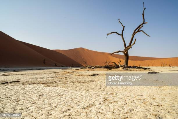 Solitary dead tree in the desert