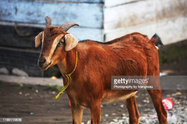 solitary goat - eid al adha stock pictures, royalty-free photos & images