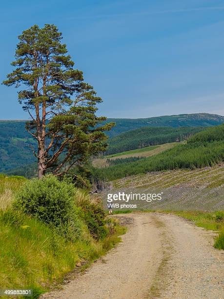 Solitary Hiker and Scots Pine