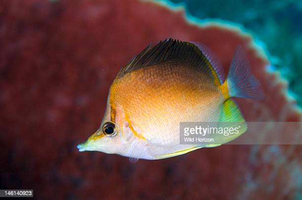 Solitary longsnout butterflyfish Chaetodon aculeatus Curacao Netherlands Antilles Digital Photo