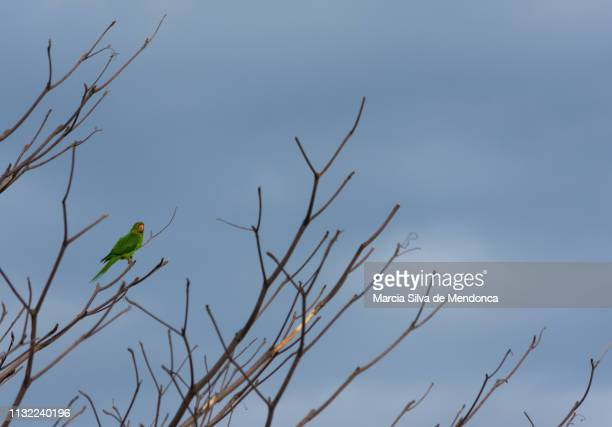 A solitary maracana parrot, on the branches of a tree.