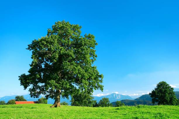 Solitary old oak tree on green meadow, blue sky, behind the Bavarian Alps, Bavaria, Germany