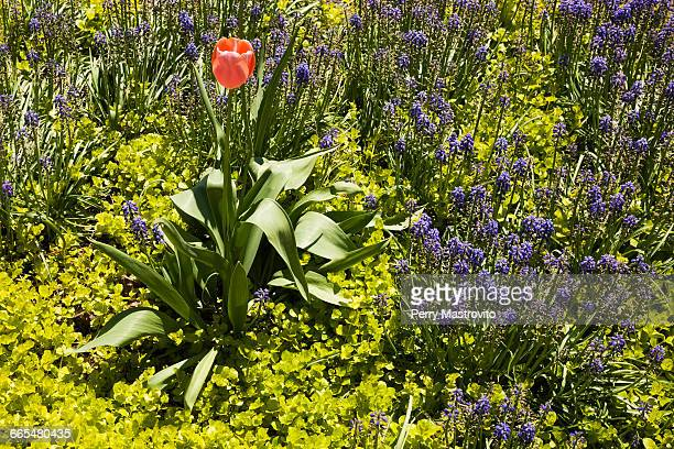 solitary pink tulipa - tulip flower growing in garden border with lysimachia nummularia aurea/golden creeping jenny plants and blue muscari armeniacum flowers in spring - muscari armeniacum stock pictures, royalty-free photos & images