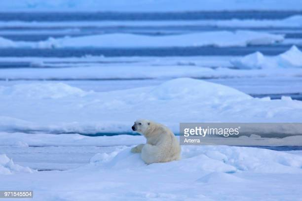 Solitary polar bear resting on ice floe in Arctic ocean
