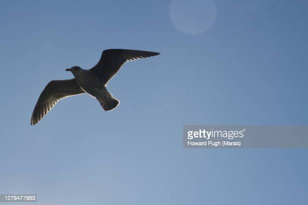 solitary seagull swoops . blue sky - diving to the ground stock pictures, royalty-free photos & images