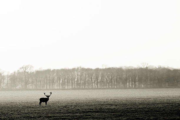 Solitary stag in black an white