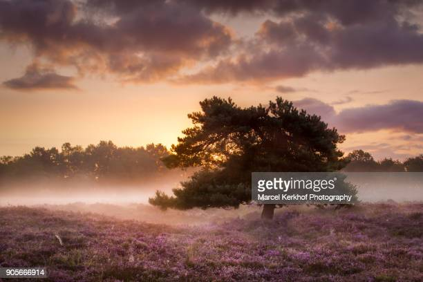 solitary tree at field of heather - solitair foto e immagini stock