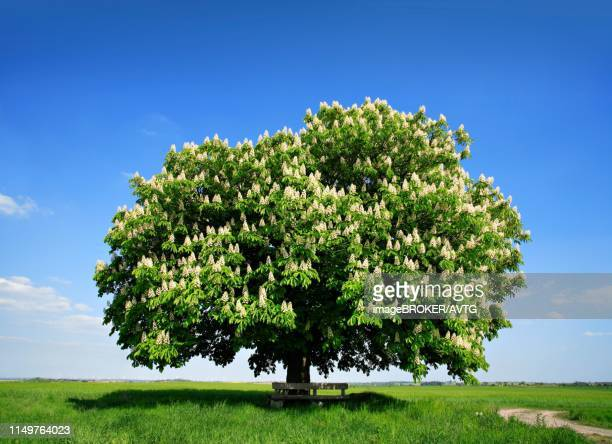 solitary tree, flowering horse chestnut (aesculus) on green field in spring, blue sky, harz foreland, saxony-anhalt, germany - picture of a buckeye tree stock photos and pictures