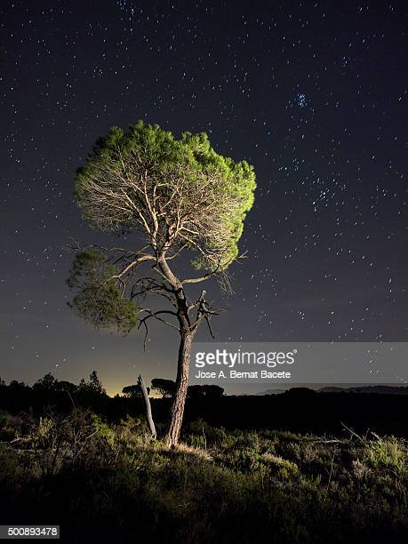 Solitary tree (pine),  in the mountain in the night, illuminated by the full moon.