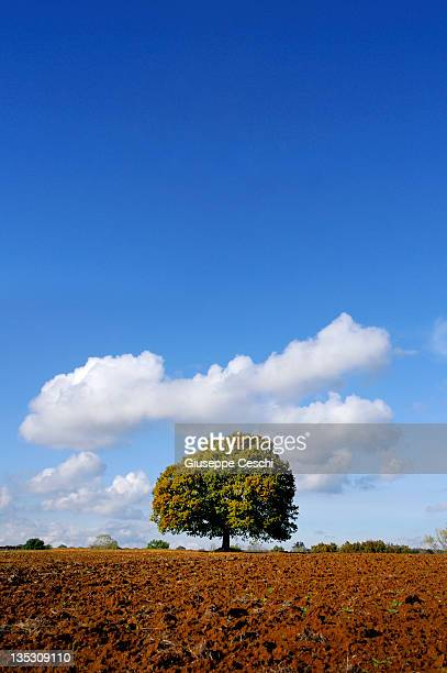 solitary tree in tuscany countryside