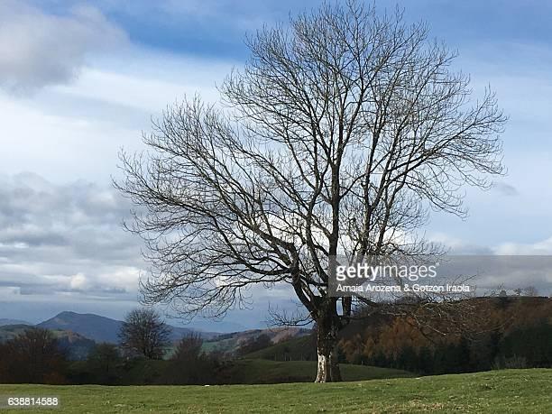 solitary tree - ash tree bildbanksfoton och bilder