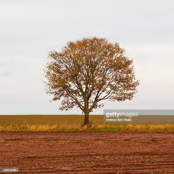 Solitary tree shown in Autumn (3 of 4 in series)