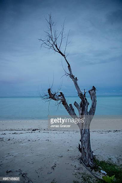 A solitary tree stands on the beach The tree has died because of the salt water from rising sea levels The people of Kiribati are under pressure to...