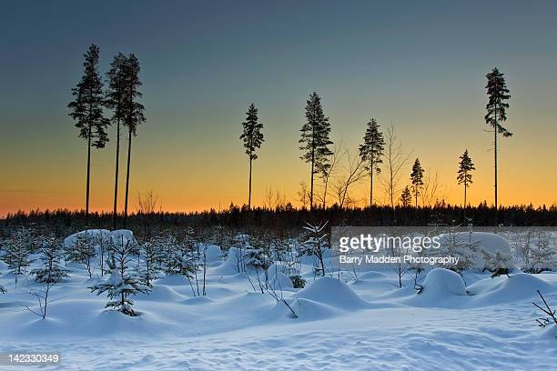solitary trees in forest in winter at sunset - ラッペーンランタ ストックフォトと画像