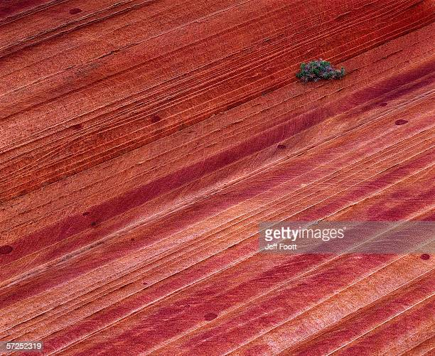 solitary vegetation grows on wind-eroded navajo sandstone.  paria canyon - vermillion cliffs wilderness area, bureau of land management, arizona, colorado plateau. - paria canyon stock pictures, royalty-free photos & images