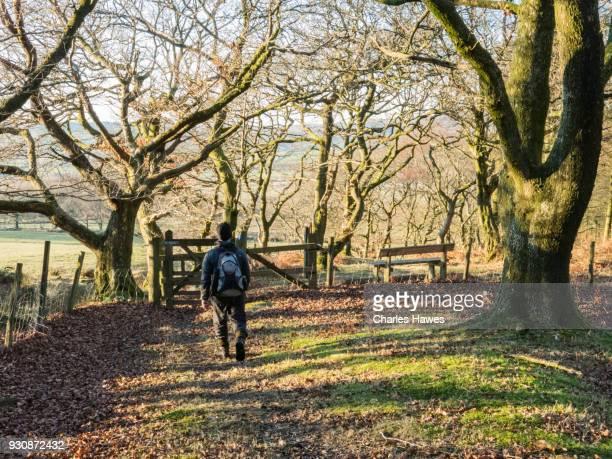 Solitary walker in Coed Dolgeod wood near Pontrhydfendigaid, Ceredigion. The Cambrian Way, Wales, UK