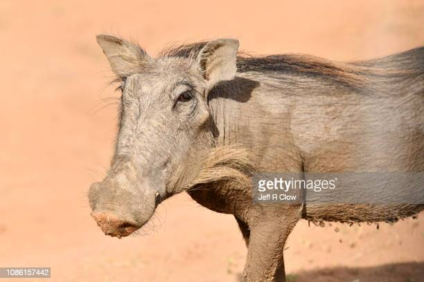solitary warthog in south africa - ugly pig stock pictures, royalty-free photos & images