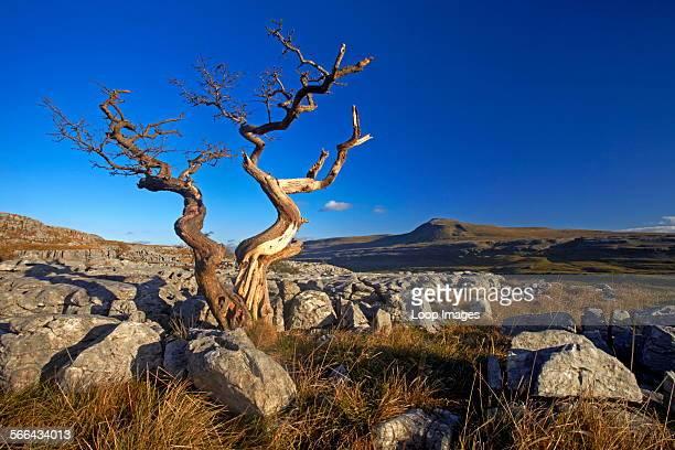 Solitary weatherbeaten tree growing on a limestone pavement.