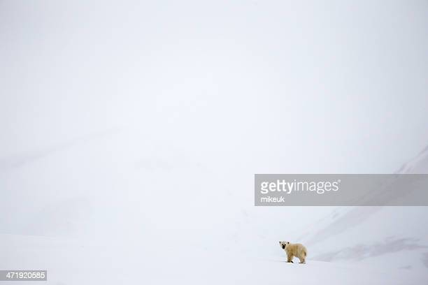 solitary young polar bear cub in Svalbard