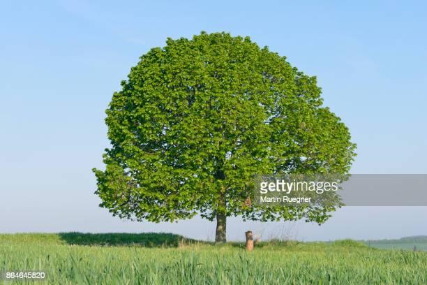 solitude lime tree (tilia) in meadow. - 大きい ストックフォトと画像