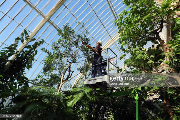 Solène Dequiret, Botanical Horticulturist works in the Palm House at Kew Gardens on January 22, 2021 in London, England. Built by architect Decimus...