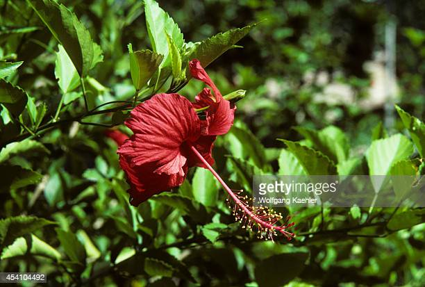 Solomon Islands Treasury Island Falamai Village Garden Red Hibiscus Flower