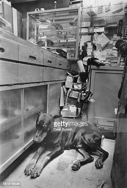 OCT 11 1977 OCT 12 1977 Solomon Was Purchased Five Years Ago As Trained Guard Dog The Doberman pinscher spends much of his day sleeping in car