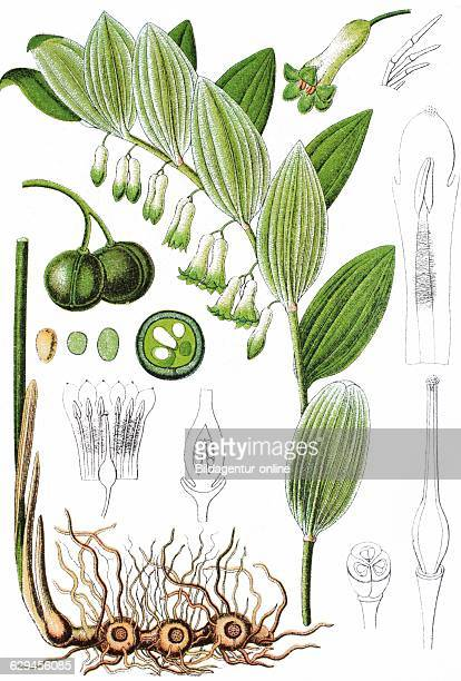 Solomon's seal david's harp laddertoheaven polygonatum multiflorum