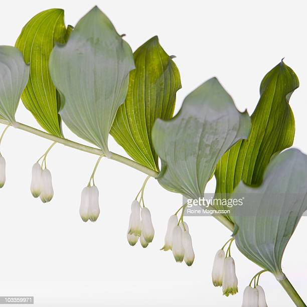 Solomon's-seal (Polygonatum multiflorum)