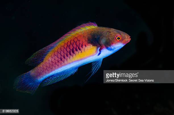 Solor Wrasse