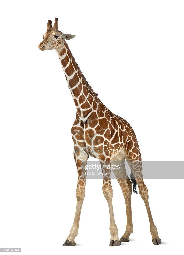 Somali Giraffe : Stock Photo