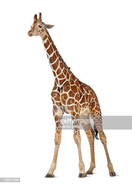 somali giraffe - giraffe stock pictures, royalty-free photos & images