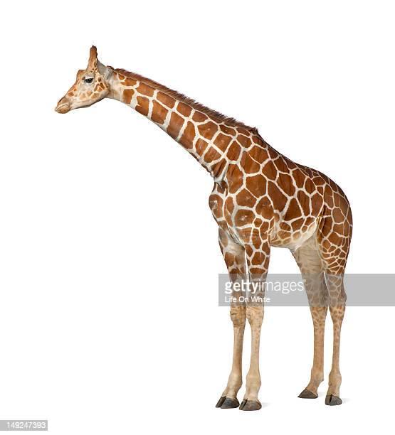 somali giraffe - white giraffe stock pictures, royalty-free photos & images