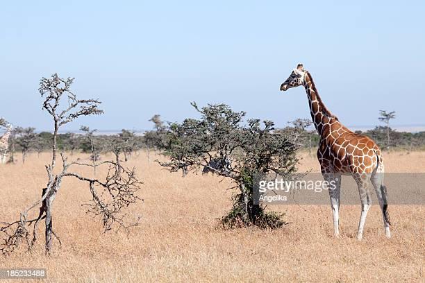 Somali Giraffe, Samburu National Park, Kenya