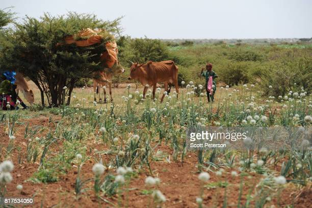 Somali herders care for cows beside a field of onions at a Farmer Field School organized by the Irish charity ConcernWorldwide as the Horn of Africa...