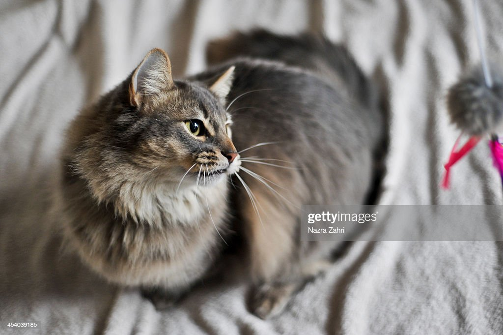Somali Munchkin Cat Playing With Toy Stock Photo | Getty Images