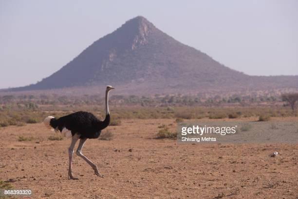 somali ostrich in samburu - ostrich stockfoto's en -beelden
