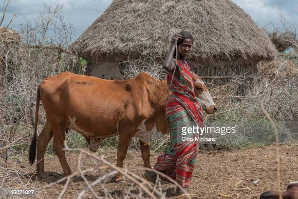 somali woman working in field with cow - somali woman stock photos and pictures