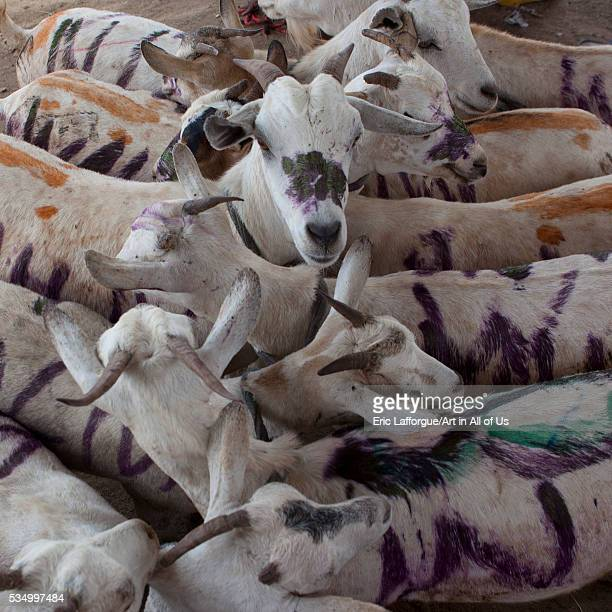 Somaliland Horn Of Africa Hargeisa a flock of painted goats at the livestock market